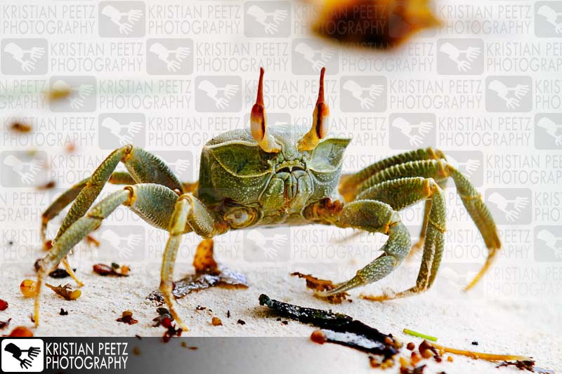 One-armed bandit - Image of a Ghost Crab (Ocypode Cerathopthalma