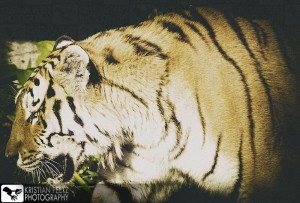 Tiger - faded histogram - copyright: Kristian Peetz