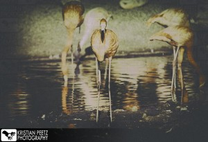 Group of Flamingos - faded histogram - coypright: Kristian Peetz