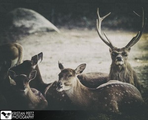 Group of deers - faded histogram - copyright: Kristian Peetz