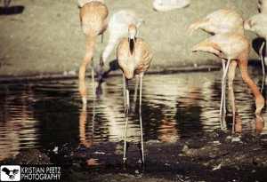 Group of Flamingos - normal histogram - coypright: Kristian Peetz