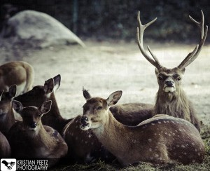 Group of deers - normal histogram - copyright: Kristian Peetz