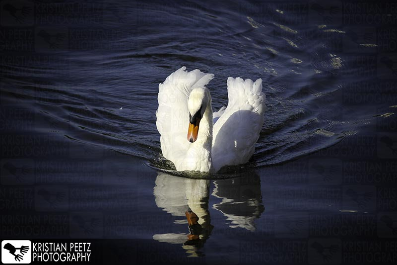 Majestic swan in the Lake Alster in Hamburg - Copyright by Kristian Peetz