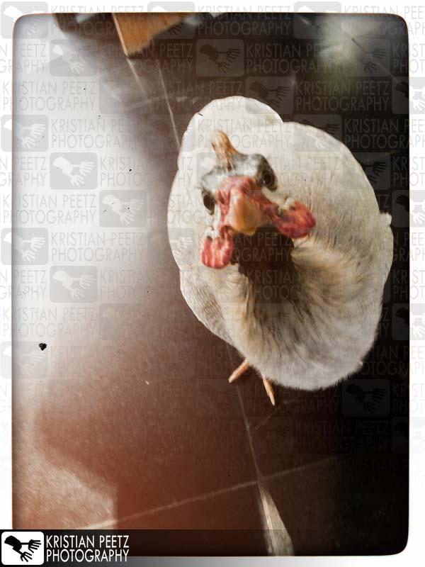 Indonesien, Lombok, neugieriges Huhn mit Bewegungsunschärfe.