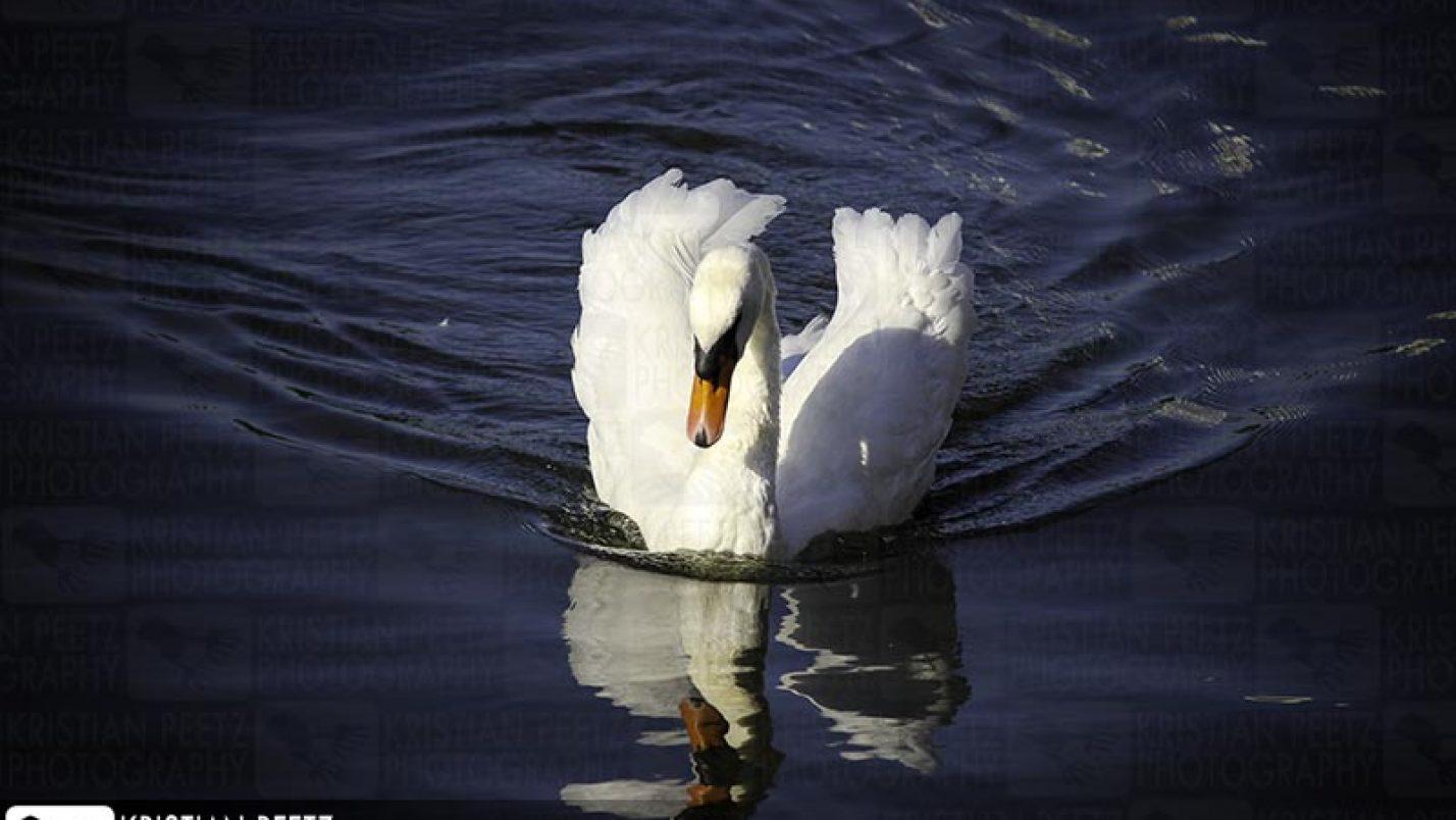 The swans of Hamburg